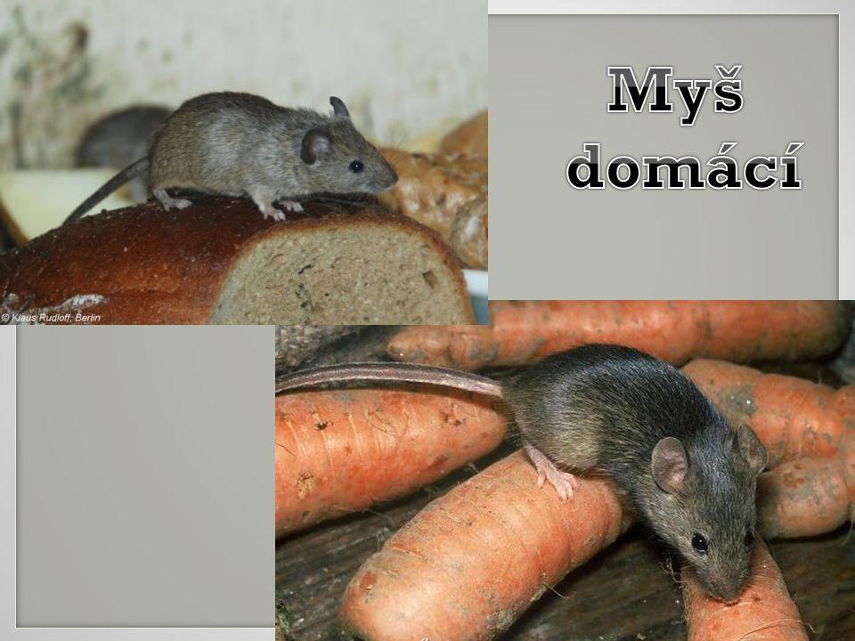 Myš domácí