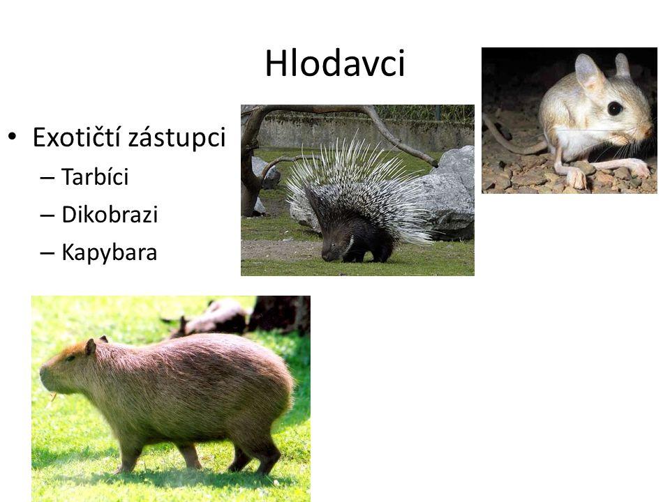 Hlodavci Exotičtí zástupci Tarbíci Dikobrazi Kapybara