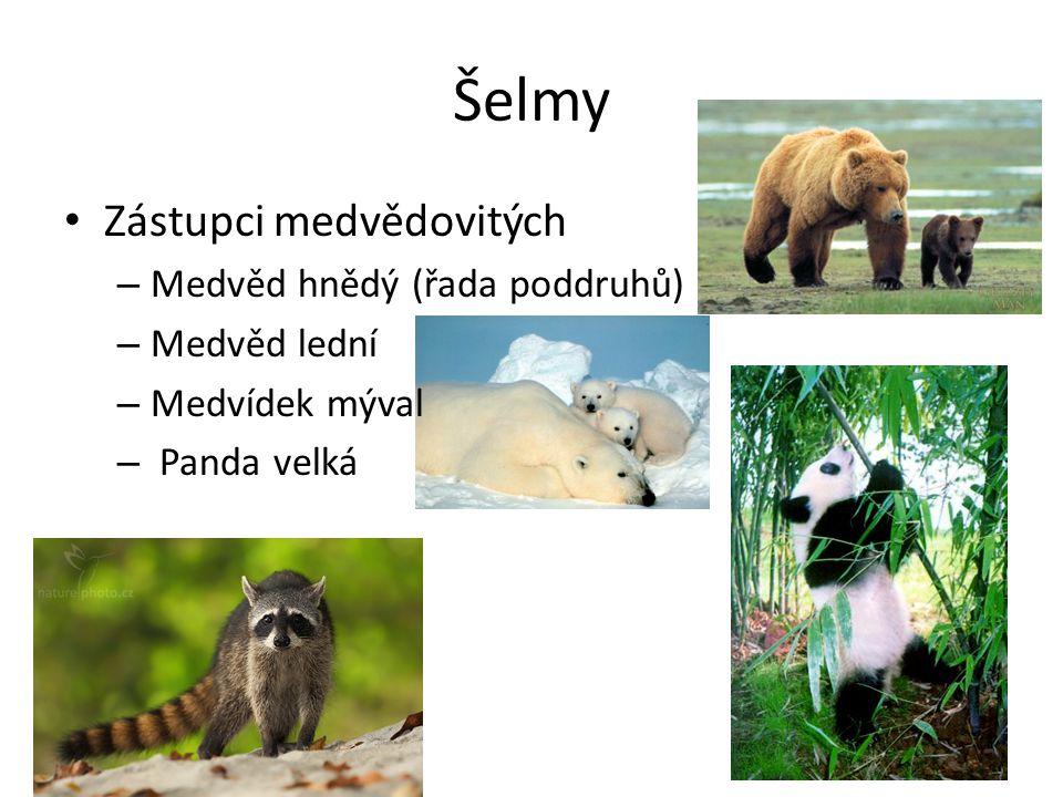 Šelmy Zástupci medvědovitých Medvěd hnědý (řada poddruhů) Medvěd lední