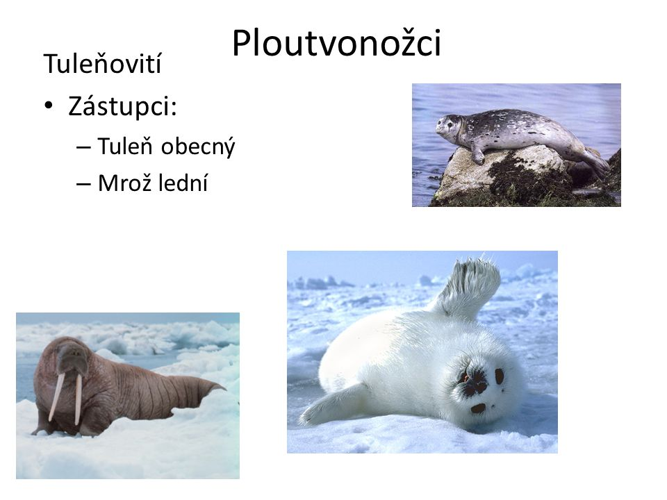 Ploutvonožci Tuleňovití Zástupci: Tuleň obecný Mrož lední