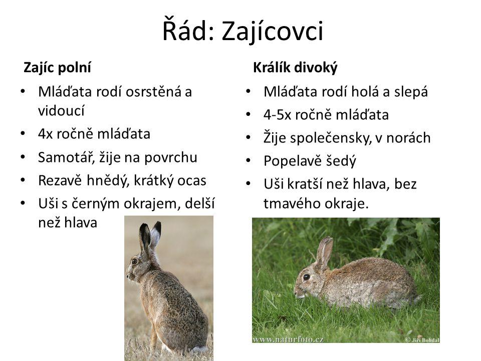 Řád: Zajícovci Zajíc polní Králík divoký