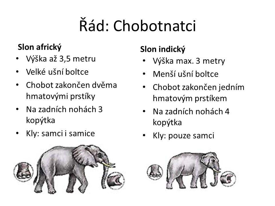 Řád: Chobotnatci Slon africký Slon indický Výška až 3,5 metru