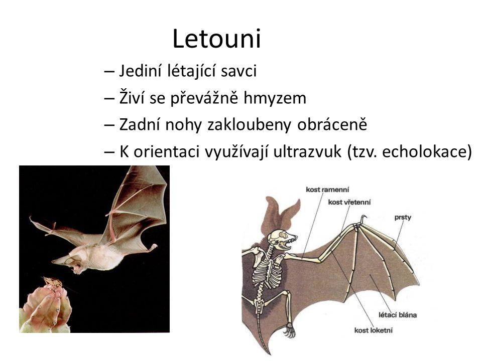 Letouni Jediní létající savci Živí se převážně hmyzem
