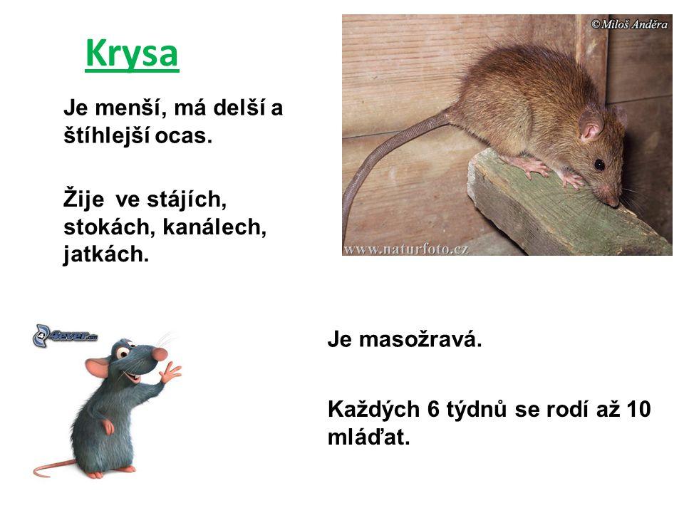 Krysa Je menší, má delší a štíhlejší ocas.