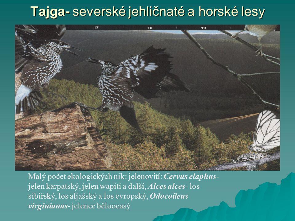 Tajga- severské jehličnaté a horské lesy
