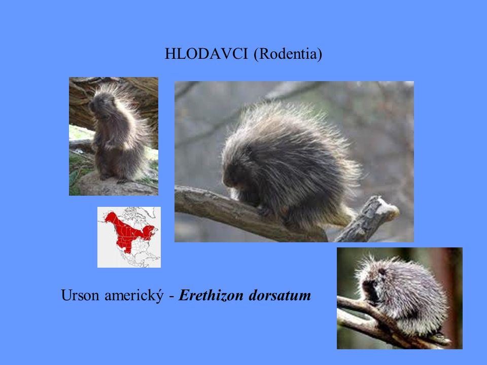HLODAVCI (Rodentia) Urson americký - Erethizon dorsatum