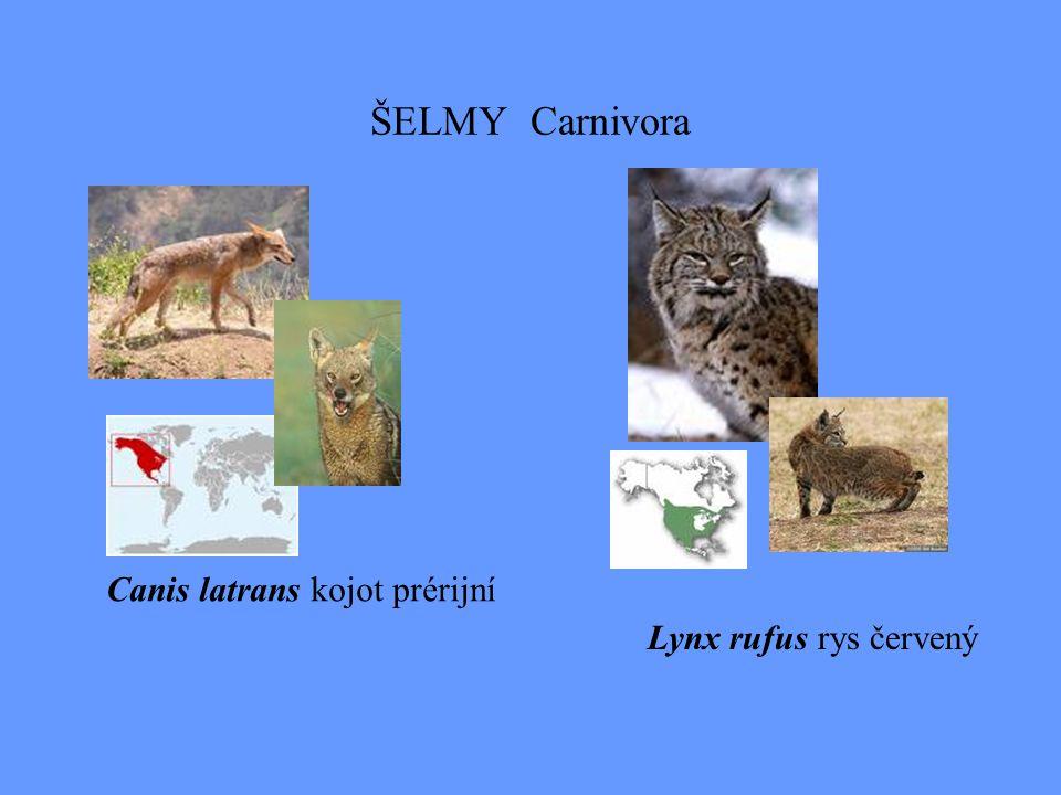 ŠELMY Carnivora Canis latrans kojot prérijní Lynx rufus rys červený