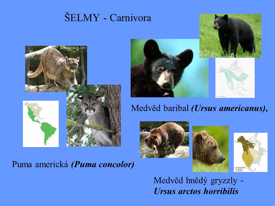 ŠELMY - Carnivora Medvěd baribal (Ursus americanus),