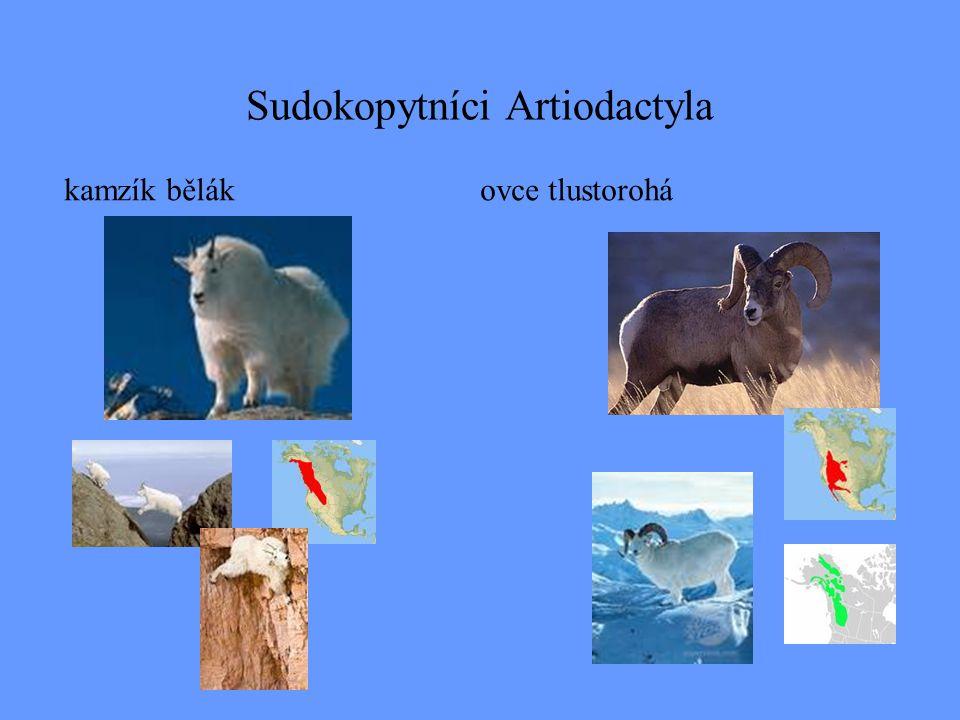 Sudokopytníci Artiodactyla