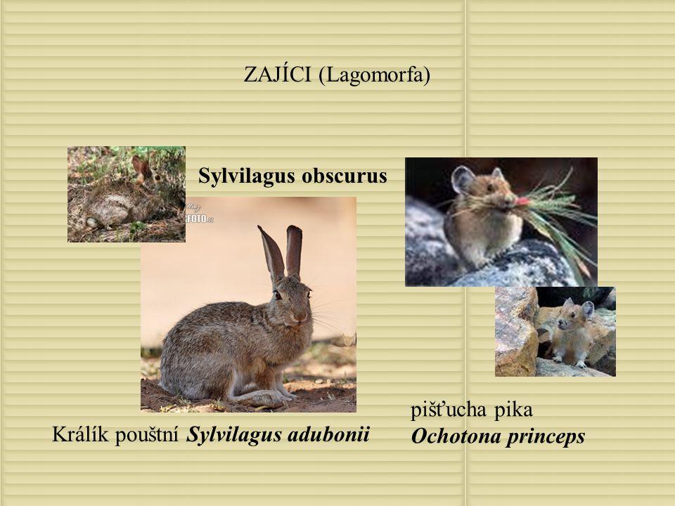 ZAJÍCI (Lagomorfa) Sylvilagus obscurus. pišťucha pika Ochotona princeps.