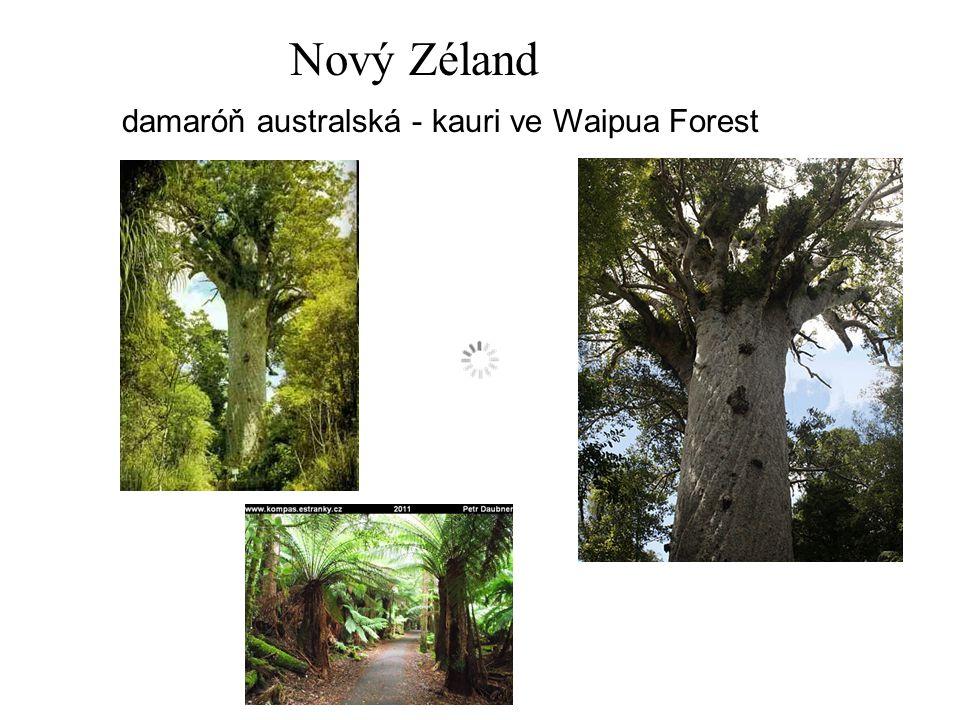 Nový Zéland damaróň australská - kauri ve Waipua Forest