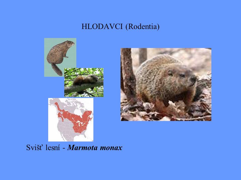 HLODAVCI (Rodentia) Svišť lesní - Marmota monax