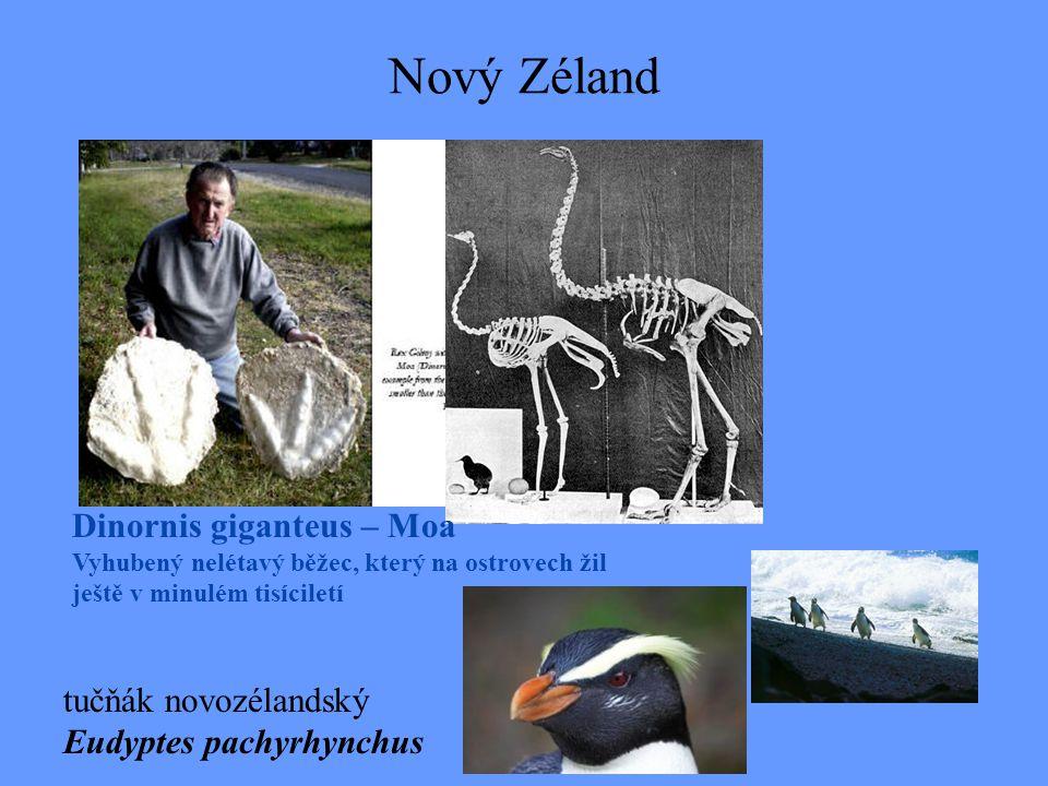 Nový Zéland Dinornis giganteus – Moa tučňák novozélandský