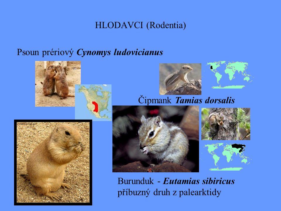 HLODAVCI (Rodentia) Psoun prériový Cynomys ludovicianus. Čipmank Tamias dorsalis. Burunduk - Eutamias sibiricus.