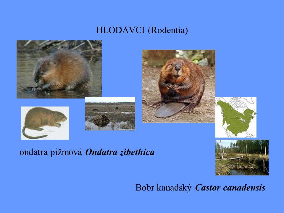 HLODAVCI (Rodentia) ondatra pižmová Ondatra zibethica Bobr kanadský Castor canadensis