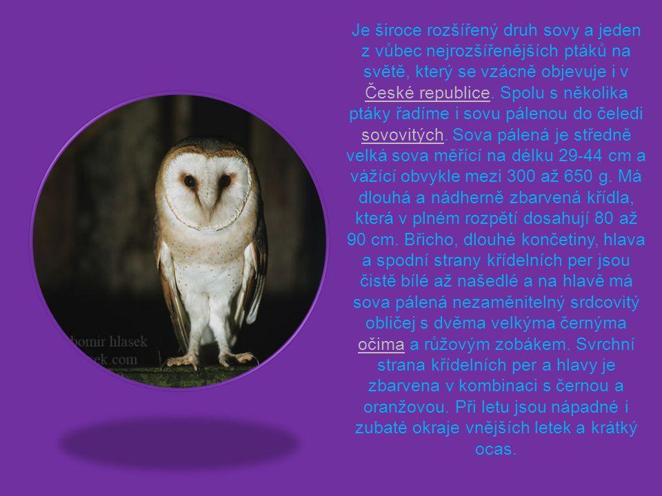 Je široce rozšířený druh sovy a jeden z vůbec nejrozšířenějších ptáků na světě, který se vzácně objevuje i v České republice.