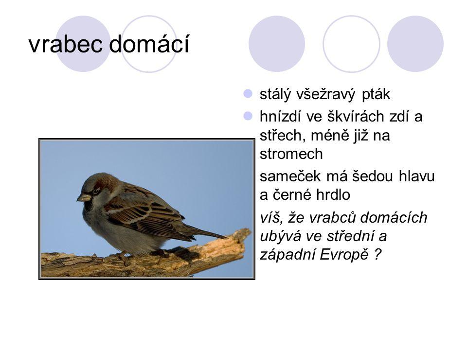 vrabec domácí stálý všežravý pták