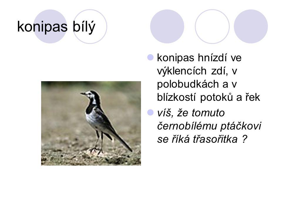 konipas bílý konipas hnízdí ve výklencích zdí, v polobudkách a v blízkostí potoků a řek.