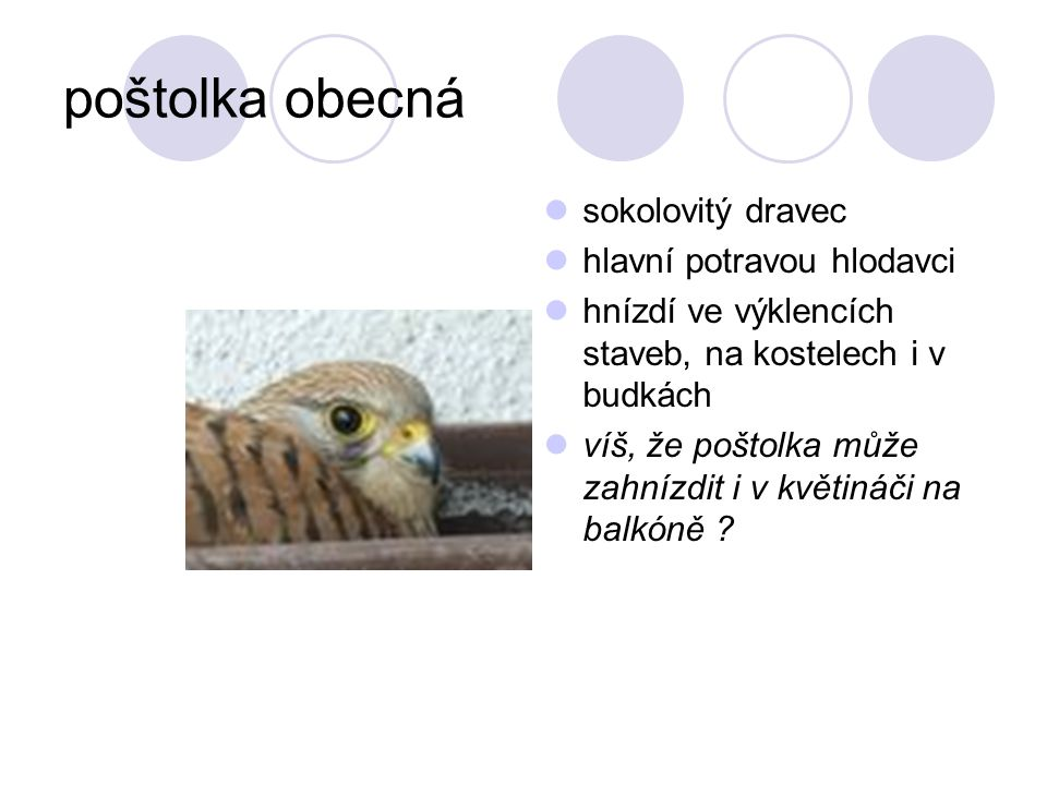 poštolka obecná sokolovitý dravec hlavní potravou hlodavci