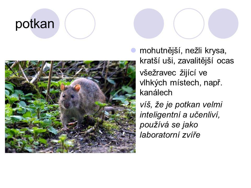 potkan mohutnější, nežli krysa, kratší uši, zavalitější ocas