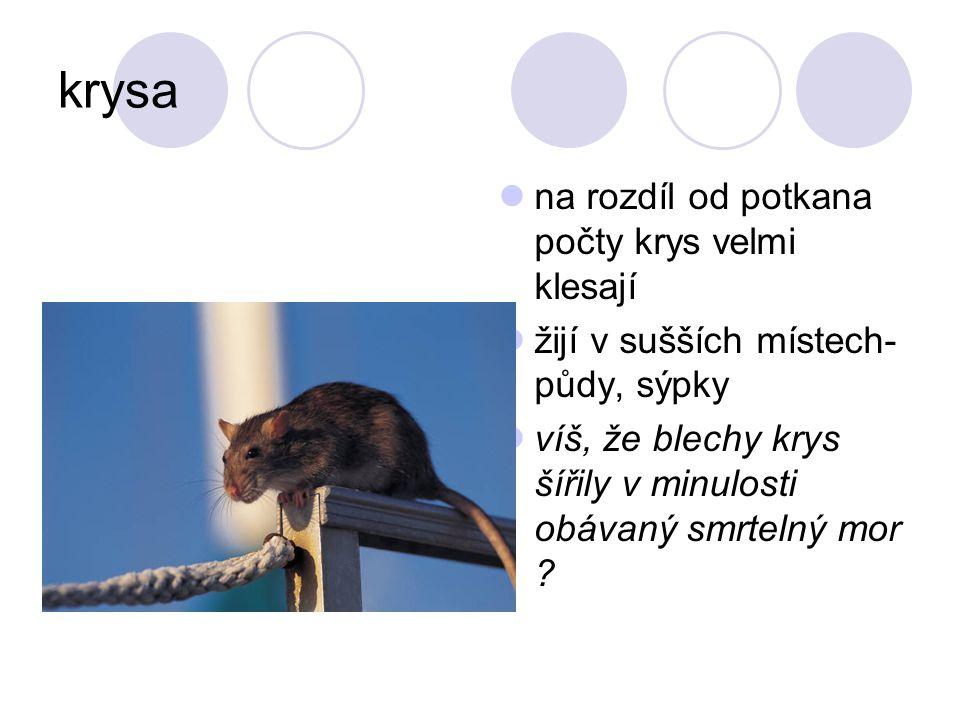 krysa na rozdíl od potkana počty krys velmi klesají