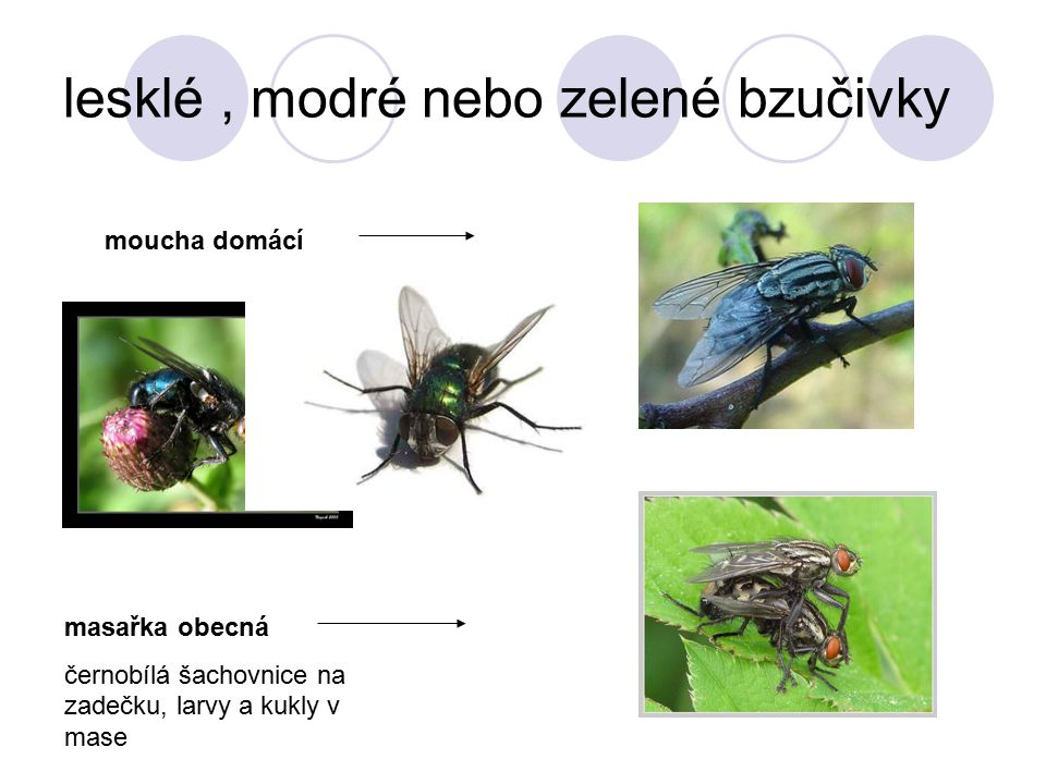 lesklé , modré nebo zelené bzučivky