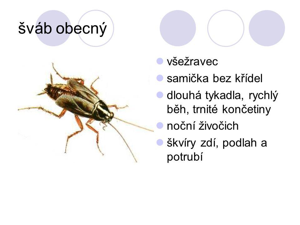 šváb obecný všežravec samička bez křídel