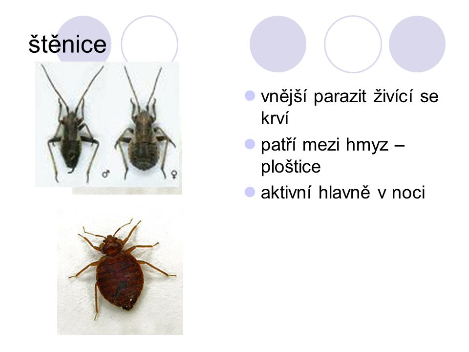 štěnice vnější parazit živící se krví patří mezi hmyz – ploštice
