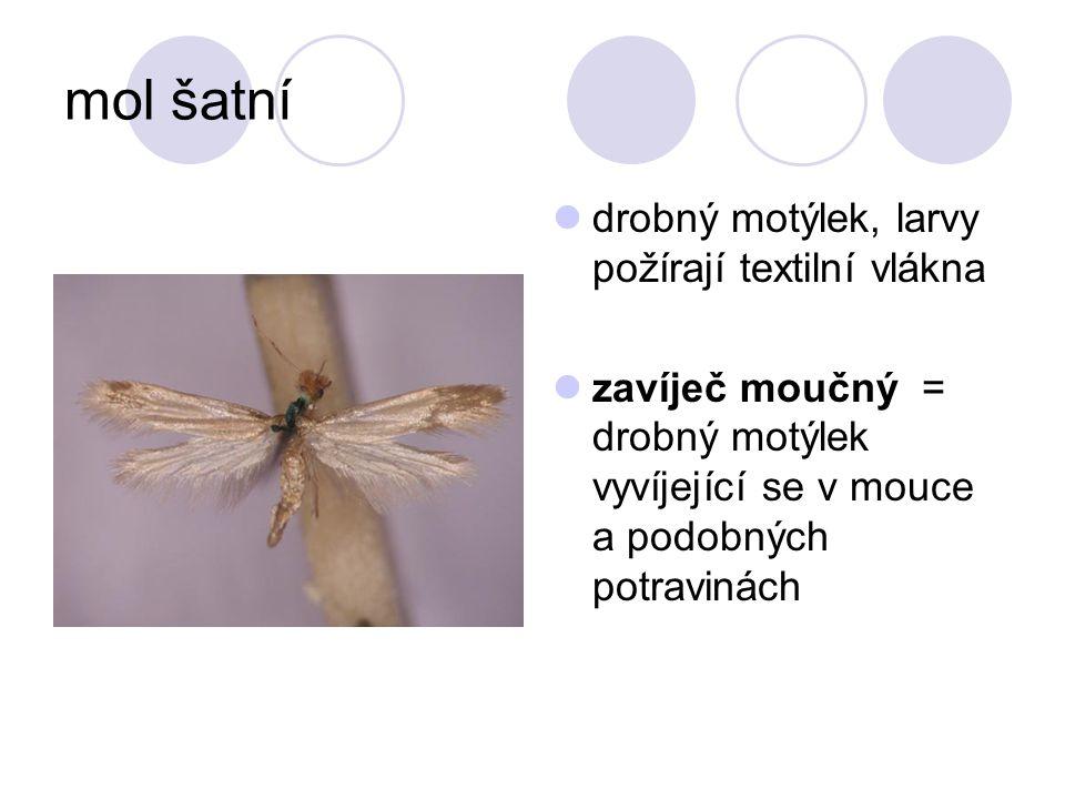 mol šatní drobný motýlek, larvy požírají textilní vlákna