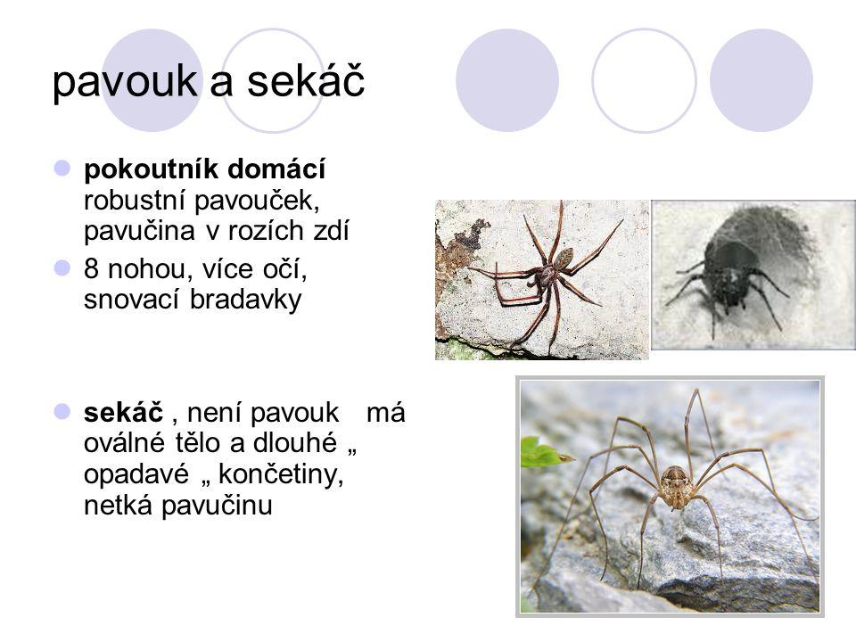 pavouk a sekáč pokoutník domácí robustní pavouček, pavučina v rozích zdí. 8 nohou, více očí, snovací bradavky.