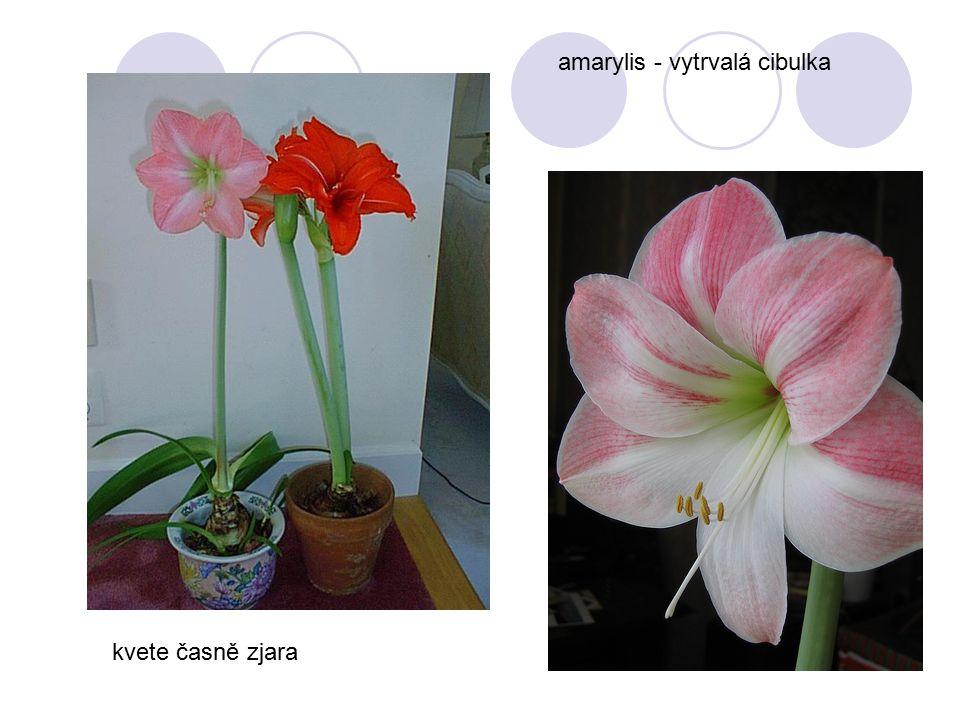 amarylis - vytrvalá cibulka