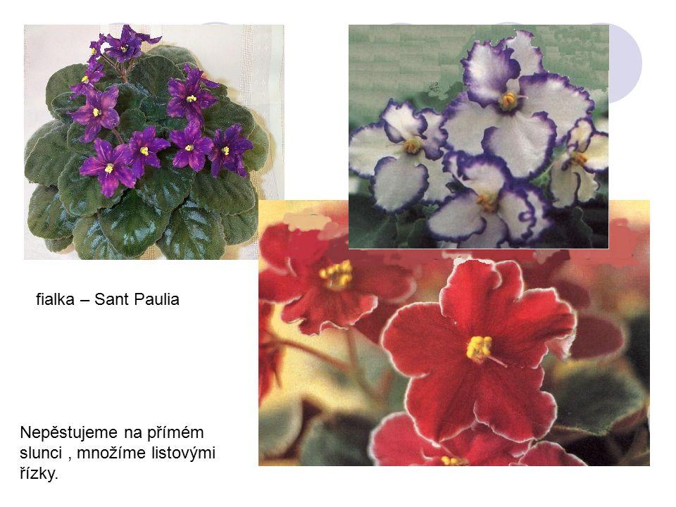 fialka – Sant Paulia Nepěstujeme na přímém slunci , množíme listovými řízky.
