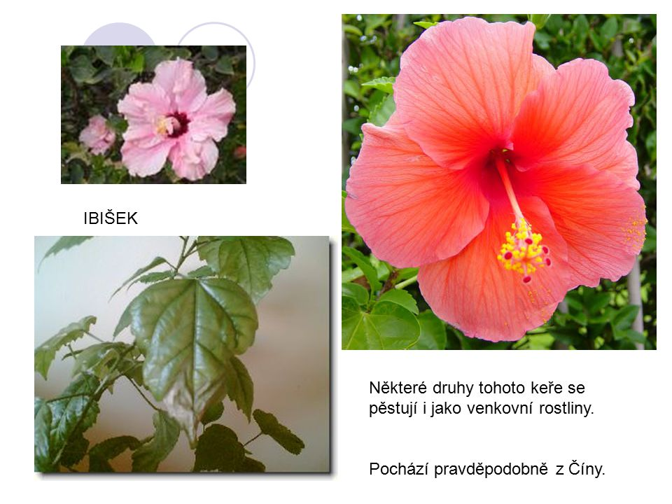 IBIŠEK Některé druhy tohoto keře se pěstují i jako venkovní rostliny. Pochází pravděpodobně z Číny.