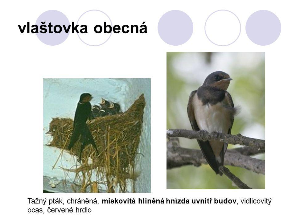 vlaštovka obecná Tažný pták, chráněná, miskovitá hliněná hnízda uvnitř budov, vidlicovitý ocas, červené hrdlo.
