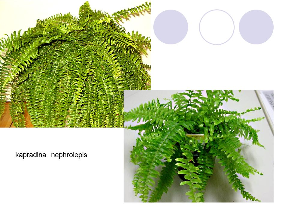 kapradina nephrolepis