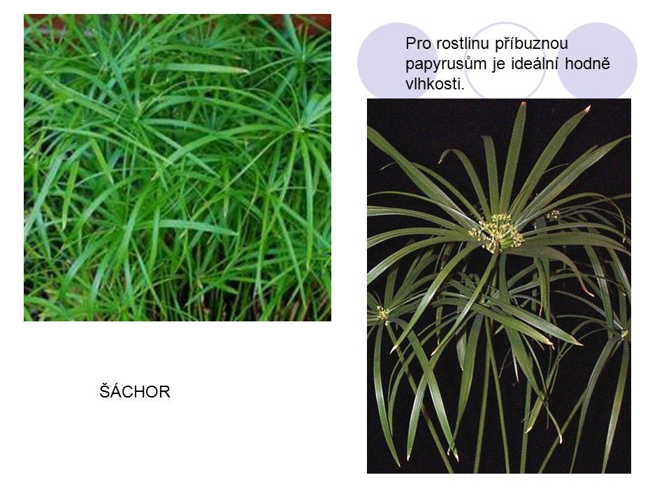 Pro rostlinu příbuznou papyrusům je ideální hodně vlhkosti.