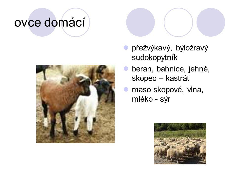 ovce domácí přežvýkavý, býložravý sudokopytník