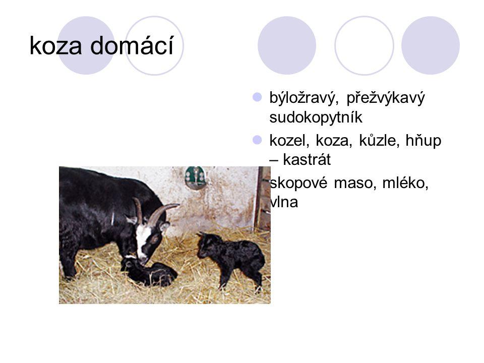 koza domácí býložravý, přežvýkavý sudokopytník