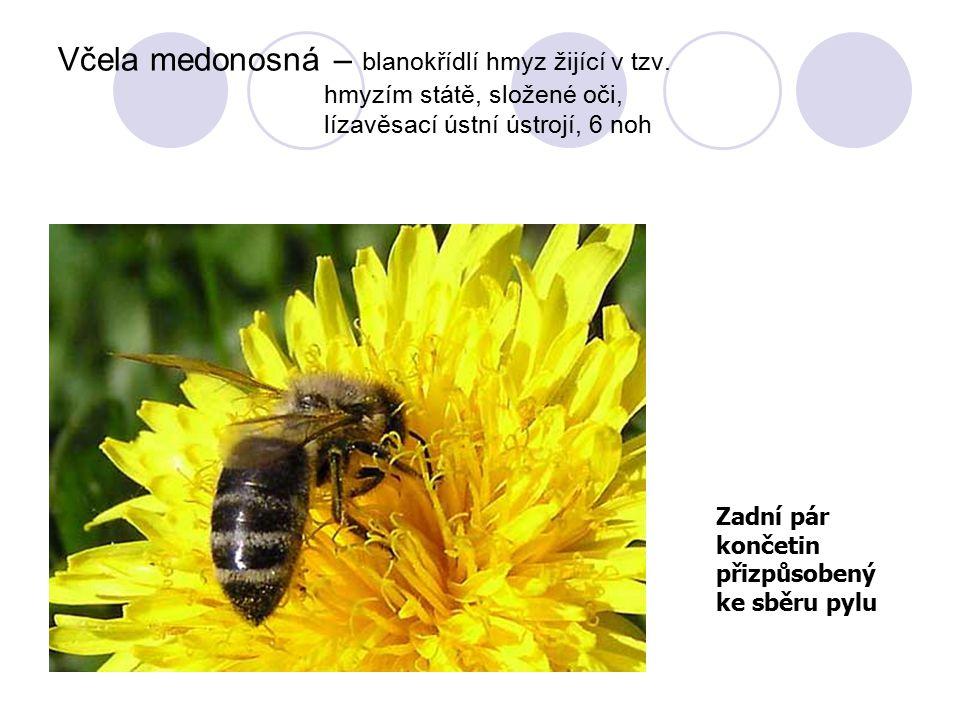Včela medonosná – blanokřídlí hmyz žijící v tzv