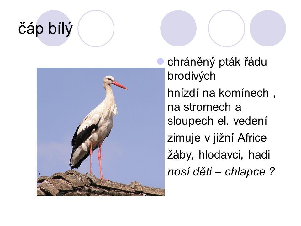 čáp bílý chráněný pták řádu brodivých