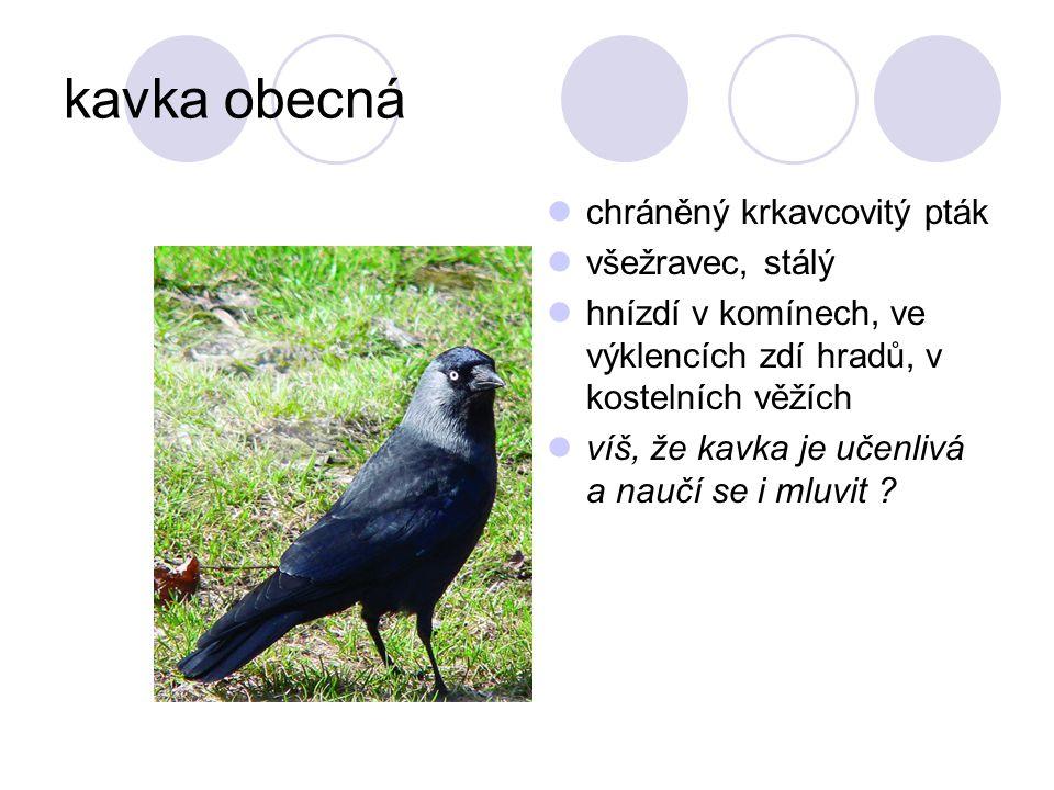 kavka obecná chráněný krkavcovitý pták všežravec, stálý