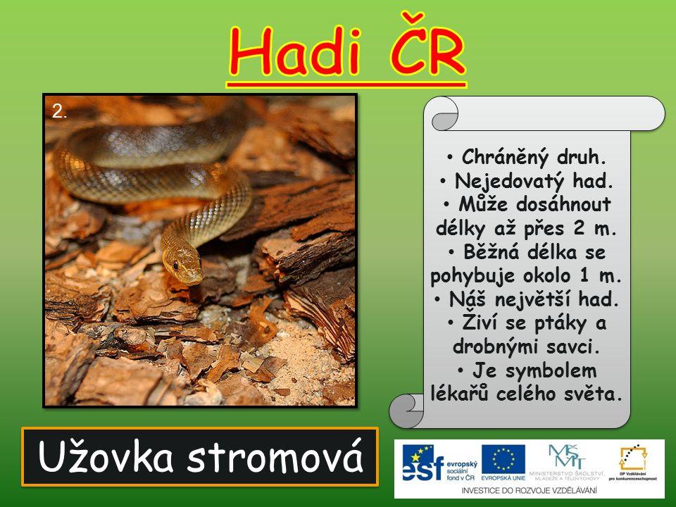 Hadi ČR Užovka stromová Chráněný druh. Nejedovatý had.