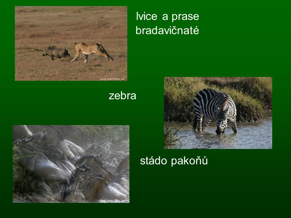 lvice a prase bradavičnaté