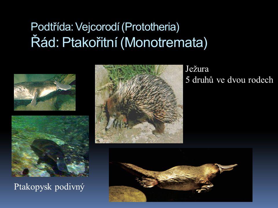 Podtřída: Vejcorodí (Prototheria) Řád: Ptakořitní (Monotremata)