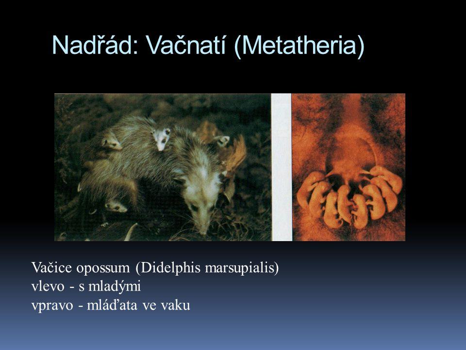 Nadřád: Vačnatí (Metatheria)