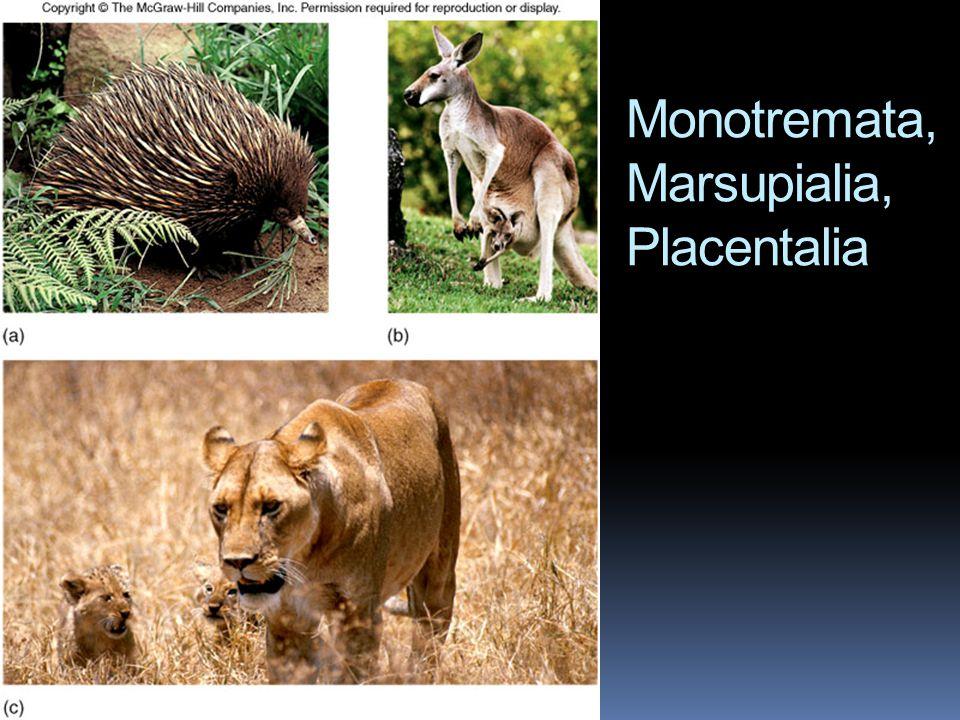 Monotremata, Marsupialia, Placentalia