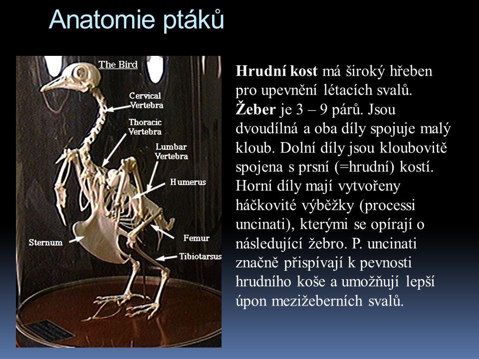 Anatomie ptáků Hrudní kost má široký hřeben pro upevnění létacích svalů.