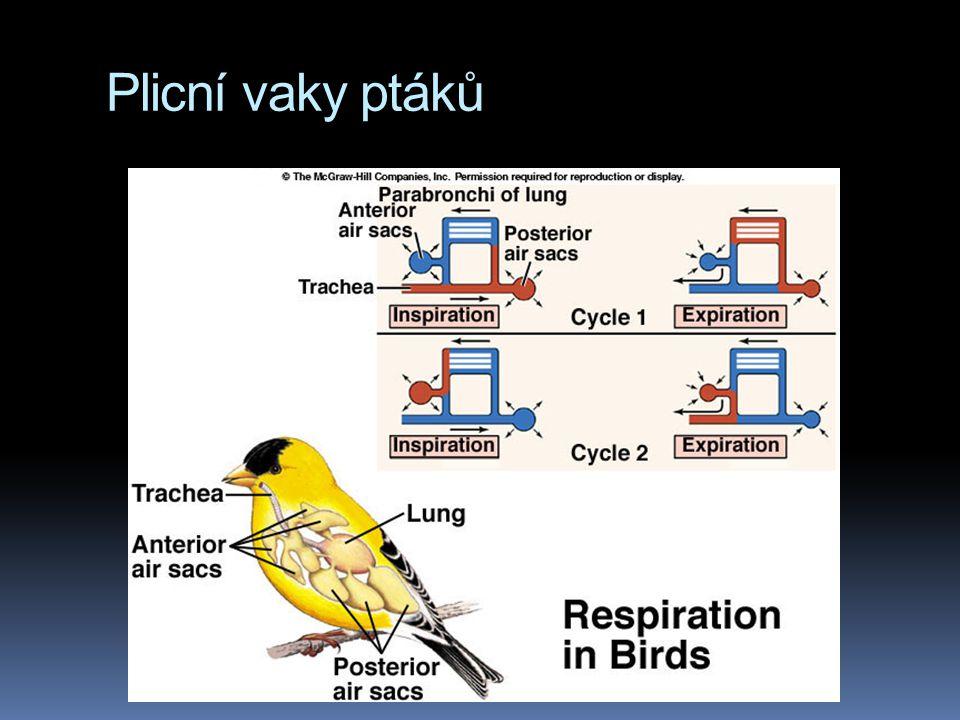 Plicní vaky ptáků