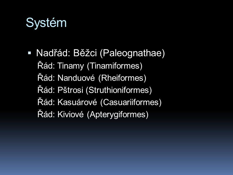 Systém Nadřád: Běžci (Paleognathae) Řád: Tinamy (Tinamiformes)
