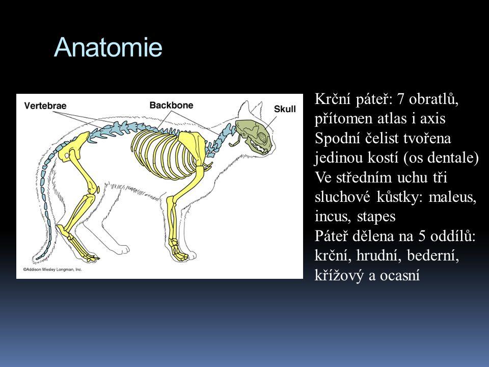 Anatomie Krční páteř: 7 obratlů, přítomen atlas i axis